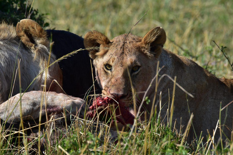 Lion eating buffalo in Masai Mara National Reserve in Kenya